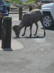Big Horn Sheep at Logan's Visitor Center, Glacier National Park