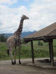 Giraffee - Wildlife Safari