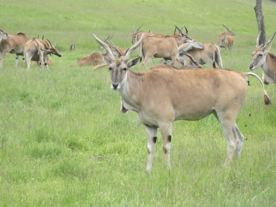 Gazelle - Wildlife Safari