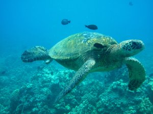 Large Sea Turtle - Photo by Kai Kanani